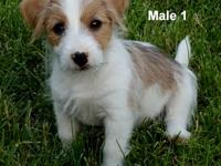 This is a short legged, light rough coat Jack Russell.