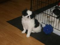 I have 3 purebred AKC Japanese Chin puppies left for