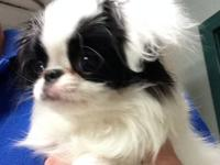 AKC Japanese Chin Puppies due January 1st. Puppies will
