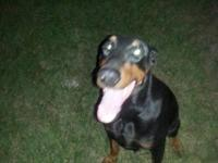 Akc female doberman message me she is a sweet girl,