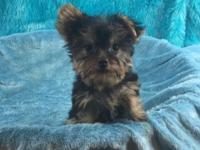 Male Yorkshire Terrier (Yorkie) Teacup male puppy. Kip