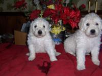 AKC komondor Male they have vac, worm they are from