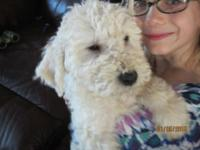 $400.00 AKC 5 month old Komondor puppy has actually had