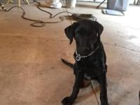 Black male lab 4 months old. Knows basic commands (sit,