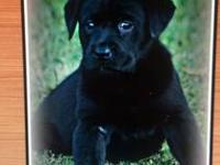 I have a litter of 9 beautiful labrador retrievers for