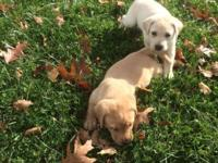 AKC yellow lab puppies. Light, medium, and dark. (See