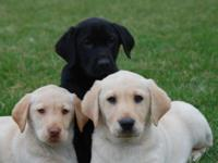 AKC LAB PUPPIES. 8 WEEKS OLD. CREAM AND BLACK MALES AND