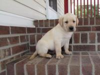 AKC Lab puppy, ready to go ,2 Yellow , males , all