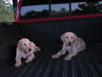 AKC Lab puppy, ready to go ,2 Yellow , males ,