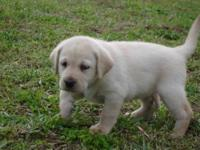 Labrador Retriever Pups! We have 1 yellow and 1 black