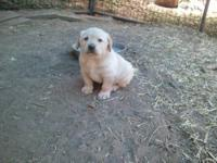 Labrador puppies for sale: both parents are yellow dual