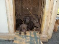 AKC Lab puppies. *READY TO GO* They are chocolate and