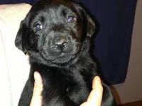 *Black AKC lab puppies born to a yellow/white dam and