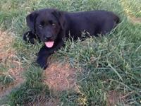 Beautiful AKC Lab puppy, Female black, nice block head,