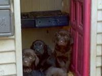 Chocolate & Black Lab Puppies for sale. Mother is