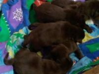 4 week old lab puppies taking deposits now will be