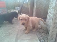 AKC pure-breed Lab young puppies. 1-Yellow Female-