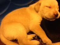 AKC Lab Puppies searching for Furrever house. They are
