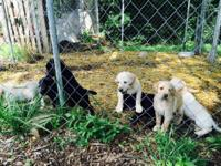AKC Lab puppies for sale. Black or yellow. Please call