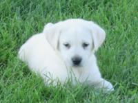 AKC WHITE LAB PUPPIES. FAMILY RAISED. VET WORK DONE BY