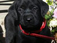 Classy labs has a litter of beautiful AKC lab puppies