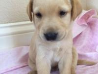 Purebreed Lab puppies AKC registered, will have first