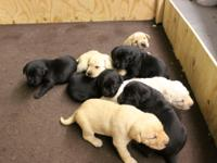 Labrador puppies ready to go home May 23. 3 black