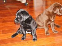 We have laboratory young puppies for sale ready to go