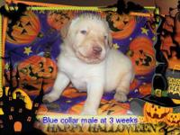 We have a new litter of AKC Labrador retriever puppies
