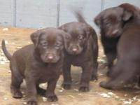Chocolate & & Black Lab Puppies for sale. Mother is