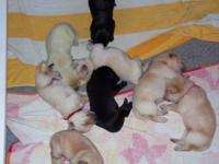 Registered Labrador Puppies for sale: Taking deposit's,
