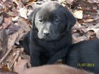 We have 10 AKC Labrador Retriever puppies for sale.