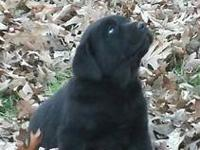 We have AKC Labrador Retriever puppies for sale.