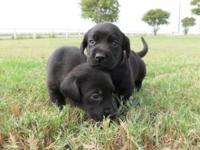 AKC registered puppies, 5 available, 3 black females, 1