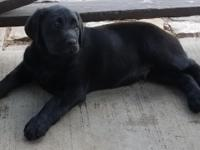 Classy Labs has a Beautiful litter of AKC English Lab