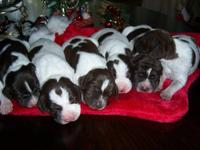 We have 5 AKC lab puppies that were born on December