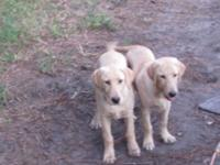 AKC Lab pupps, ready to go ,2 Yellow , males ,