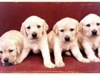 AKC Lab pups. We have chocolates, yellows and blacks.