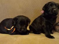 We have an excellent litter of lab pups. They will be