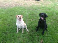 AKC PUPPIES Labrador retrievers Champion bloodline.