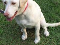She is a beautiful white 2 year old unaltered female