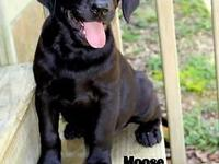 This is Moose. He is a black AKC Labrador Retriever