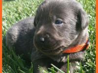 AKC Labrador Charcoal Puppies  This is litter will be