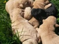 I have 6 beautiful Labrador puppies. 4 yellow females