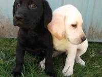 Cute AKC registered Labradors. They make great family