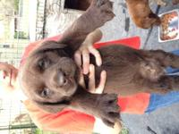 AKC Labrador Puppies. We have 2 puppies available, one