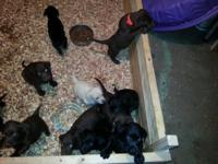 AKC Labrador puppies for sale! They are prepared to go