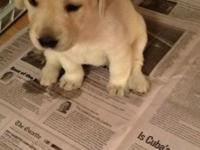Yellow Labradors aka registered unlimited 3 very light