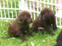Hi I have akc registered Labrador puppies all males
