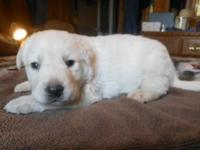 AKC Registered lab puppies, huntinh, champion and show